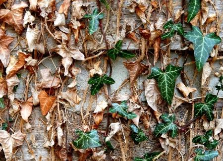 Transformed Ivy