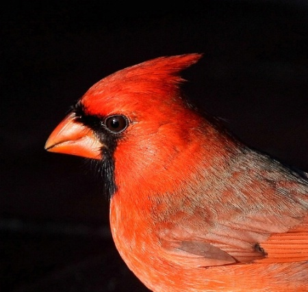 Mr. Cardinal Portrait