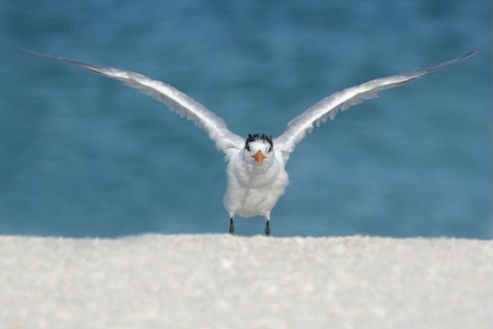 Tern Takeoff