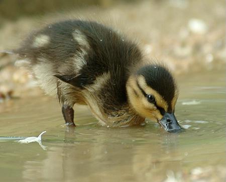 Drinking Duckling