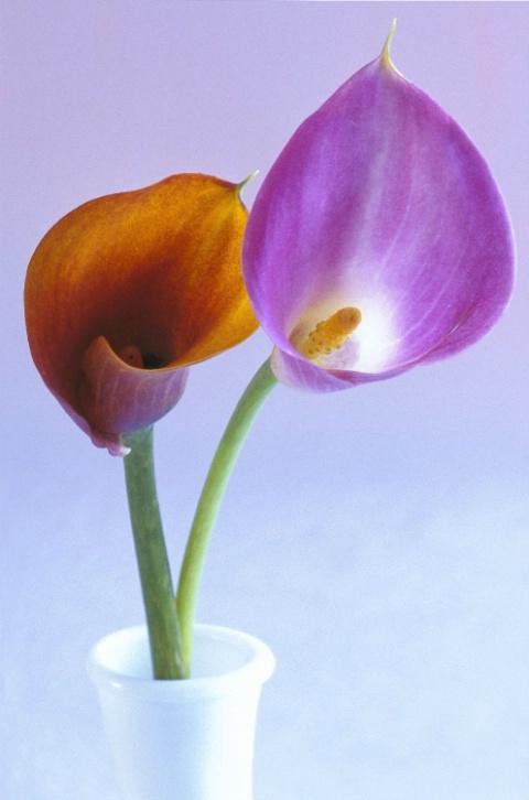 A Pair of Calla Lilies