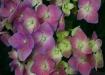 Purplish Flowers