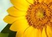 Sunflower at sunr...