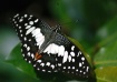 Speckled Butterfl...