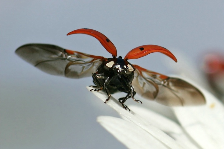 A ladybirds wingspan
