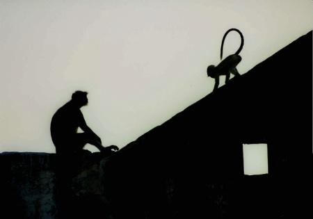 Monkeys on rooftop