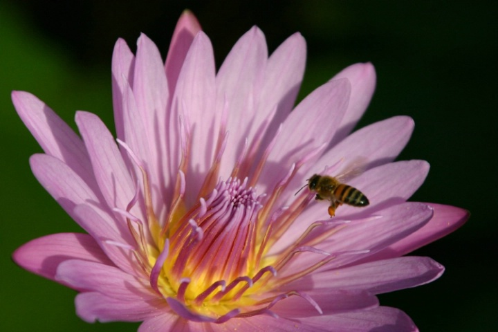 Water Lily with Bee