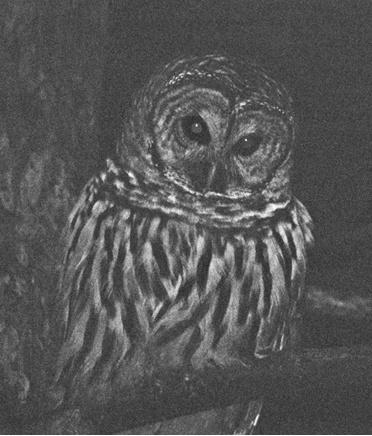 Barred Owl_B&W after - ID: 1711323 © John Shemilt