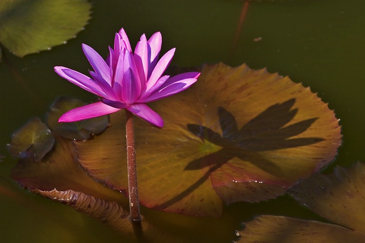 Late Afternoon at the Lily Pond