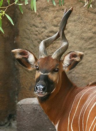 Mountain Bongo at the Los Angeles Zoo
