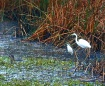 Egrets Watching O...