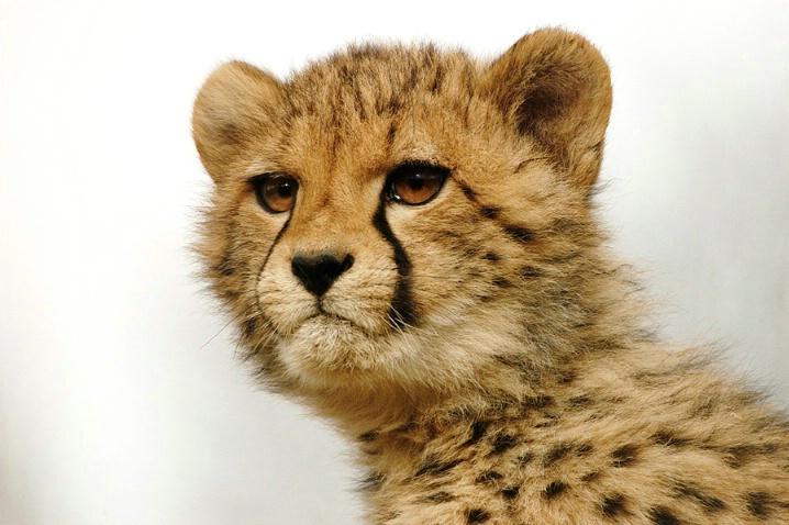 Cheetah cub new - ID: 1769965 © Karen-Jane Dudley