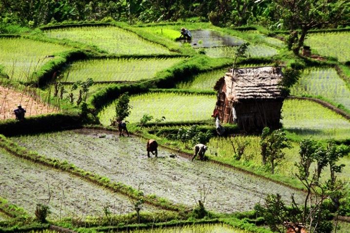 A Day in the Rice Paddies