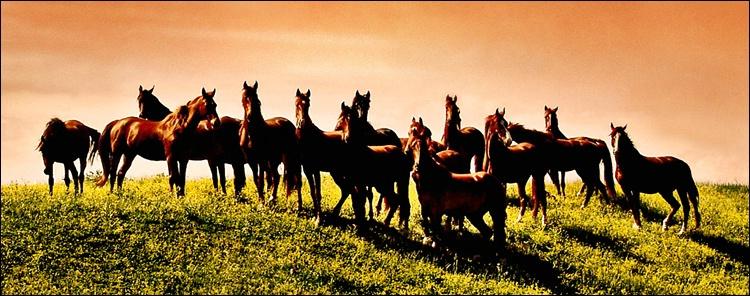 - Stallions -