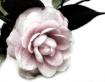 Camellia Sketched