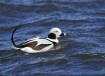 Long Tailed Duck ...