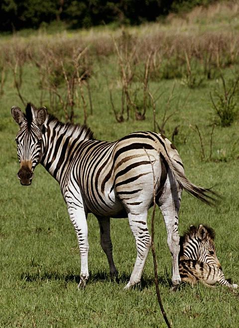 Do not come closer - Zebra and baby