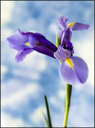 Iris in the Sky