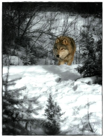 Montana Wolf                                   160