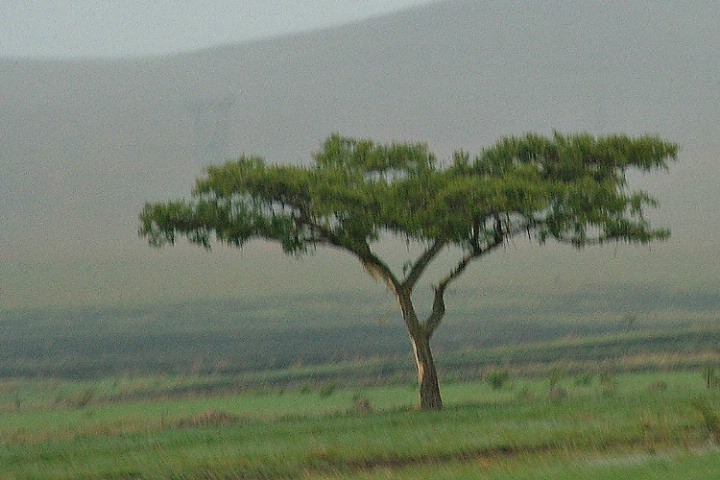 Lonely tree at Drakensberg South Africa