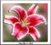 Day Lily In Pink