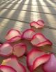 morning petals