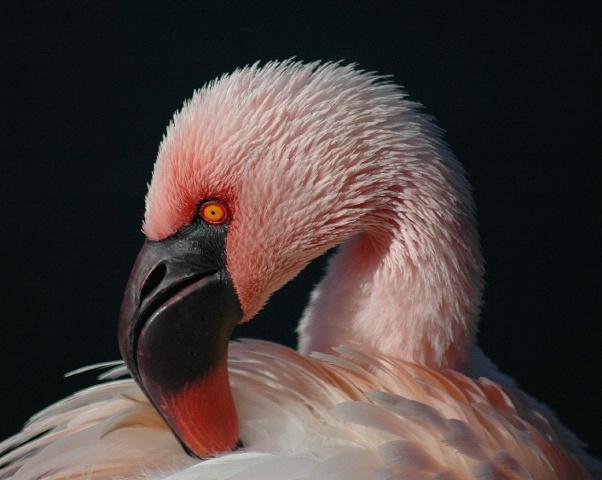 Flaming Pink
