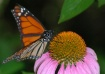 Monarch on Mexica...