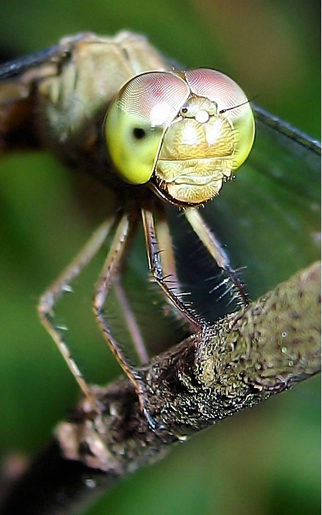 """Dragonfly Portrait"""