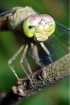 """""""Dragonfly Po..."""