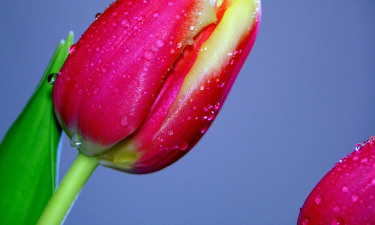 Tulip with drops