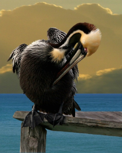 Brown Pelican - SSC