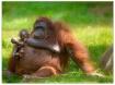 orangutan(2)