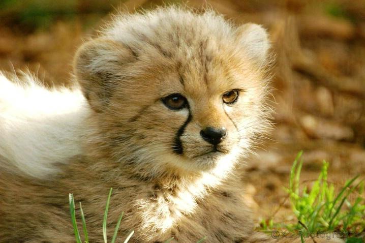 Cheetah cub study - ID: 1899273 © Karen-Jane Dudley
