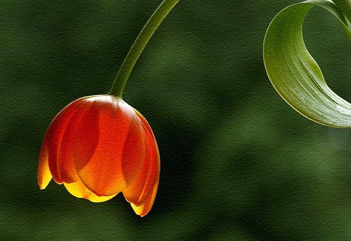 Tulip Potrait
