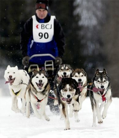 sledgedog race