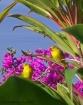Yellow Finch Pair