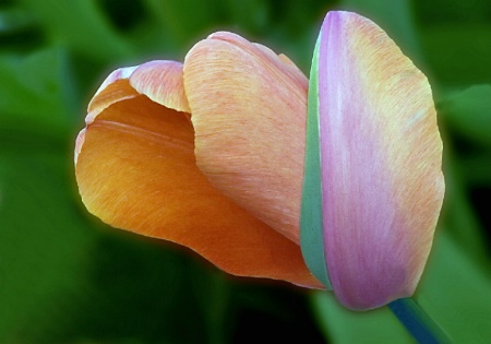 Twisted Tulip