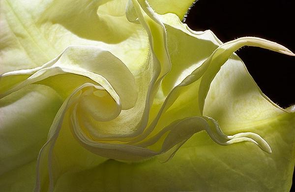 flower, macro, Angel Trumpet, white