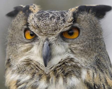 Long_Eared Owl<br>