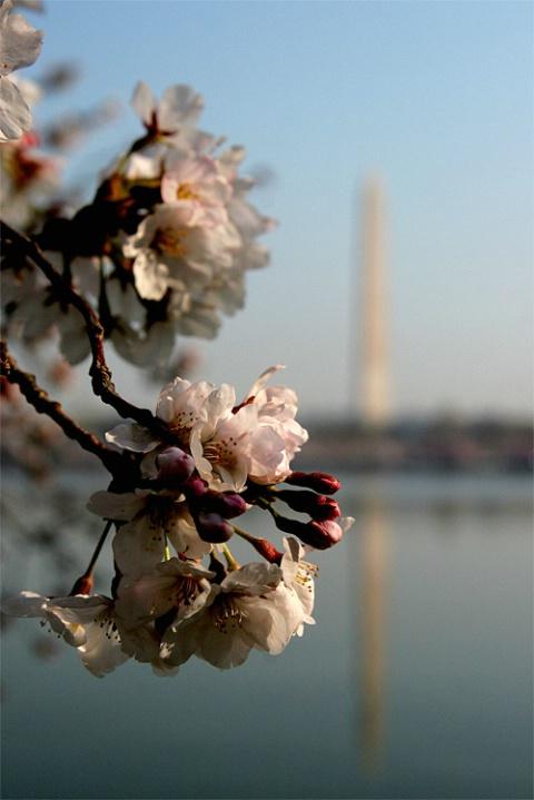 Washington at Cherry Blossom time - ID: 1922006 © Rob Mesite