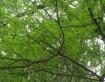 Leafy Pitchfork