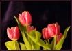 Tulips #7