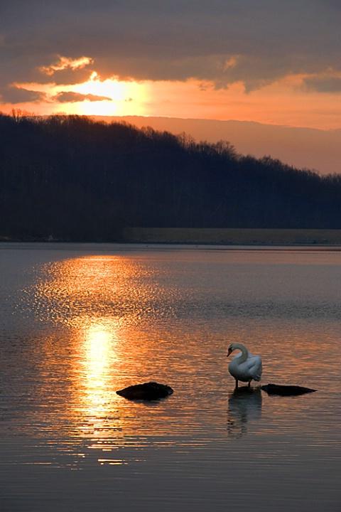 """Good Morning Swan"""