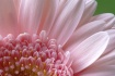 pastel pink
