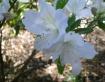 White Azeleas