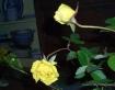 Yellow Rose of Te...