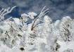 Snow Flocked Tree...