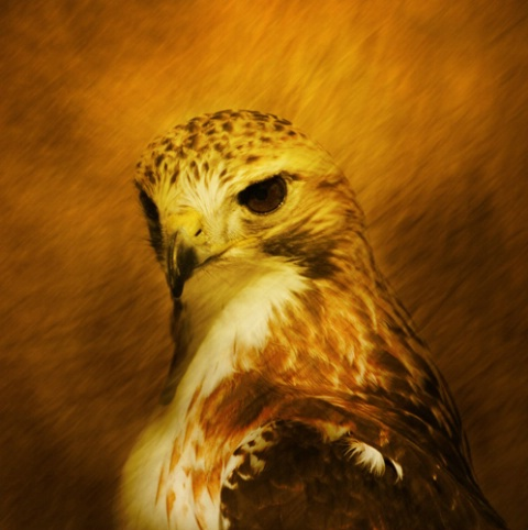 Portrait of the hawk as a young bird