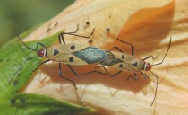 Insects- mating